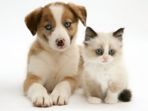 Blue-Eyed-Red-Merle-Border-Collie-P
